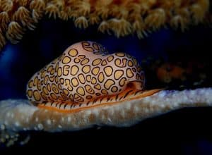 Classic portrait of flamingo tongue sea snail with creamy flesh covered in dramatic yellow black and orange markings