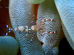 Small spotted cleaner shrimp with white, blue and pink markings crawling on yellow sea anemone limbs