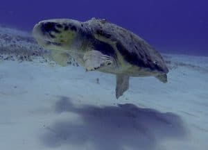 Large old loggerhead turtle swimming along a sunny sandbar in Cozumel dive site San Francisco